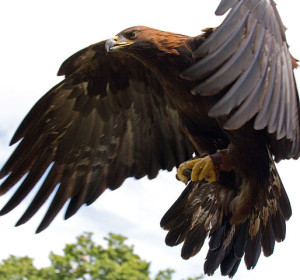 Golden Eagle in flight - 5 by Tony Hisgett from Birmingham, UK. Licensed under CC BY 2.0