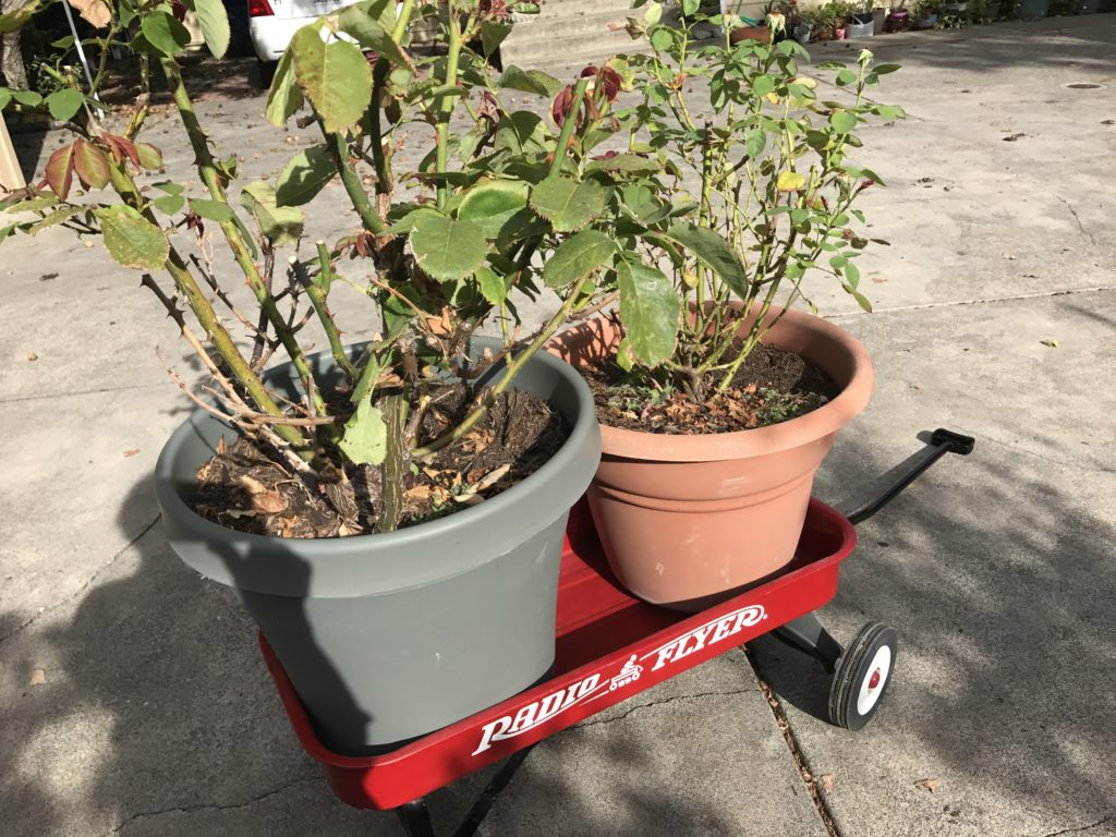 Two large potted roses in a Radio Flyer wagon