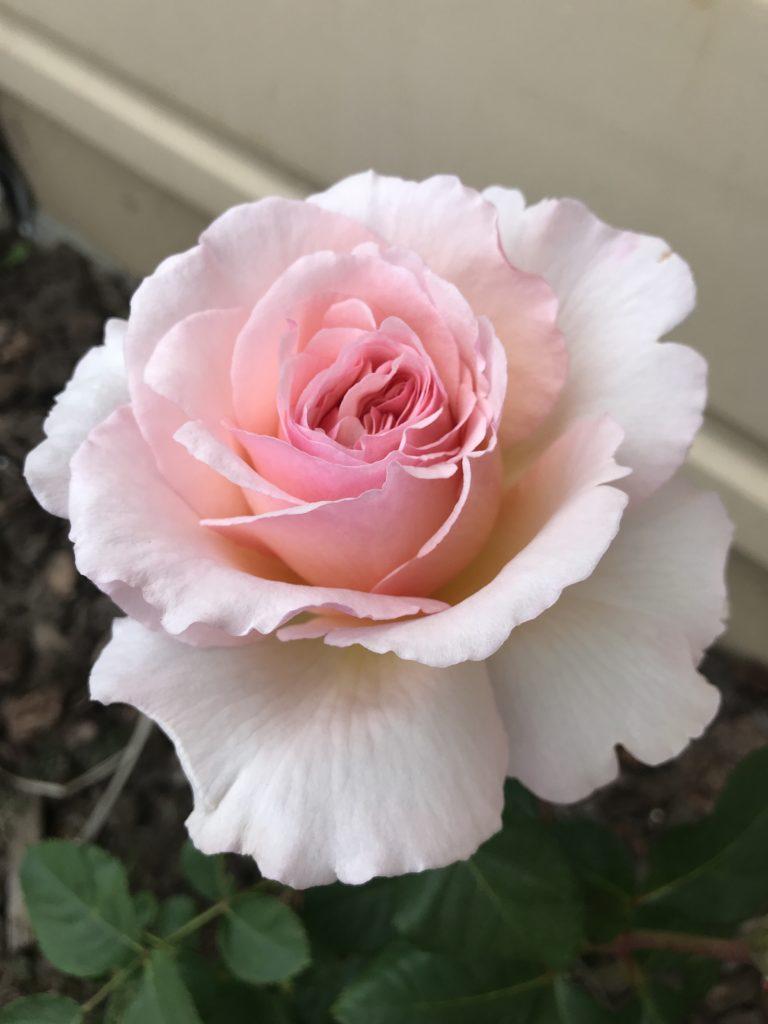 Rose: Princesse Charlene de Monaco